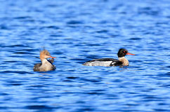 Mergus serrator, Red-breasted Merganser. Stock Photo