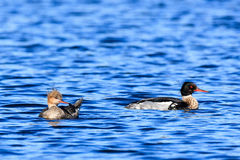 Mergus serrator, Red-breasted Merganser. Stock Image