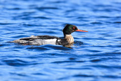 Mergus serrator, Red-breasted Merganser. Stock Photography