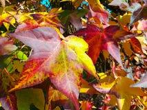 Merican sweetgum,在与它的红色,桔子和黄色叶子的秋季 库存图片