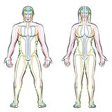 Meridian System Male Female Body Colored Meridians. Meridian system - colored meridians of male and female body - alternative therapy tcm treatment infographic royalty free illustration
