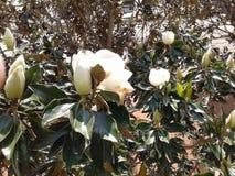 Meridiane della magnolia fotografie stock libere da diritti