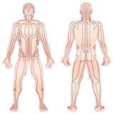Meridians Male Body TCM Royalty Free Stock Photo