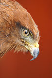 Meridionalis del halcón/del buteo de la sabana Fotografía de archivo
