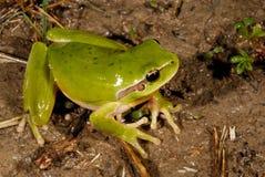 Meridionalis della hyla del treefrog di Stripeless in Valliguieres, Francia Fotografie Stock Libere da Diritti