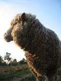 Merino ewe royalty free stock images