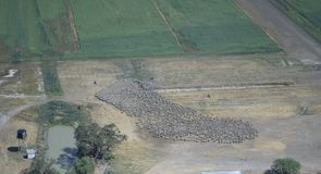 Merino ewes being mustered. On a New South Wales outback  sheep station Stock Images