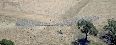 Merino ewes being mustered. On a New South Wales outback  sheep station Stock Photography