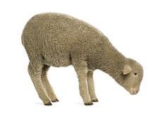 Merino lamb, 4 months old stock photo