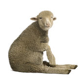 Merino Lamb, 4 Months Old Stock Images