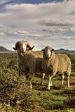 Merino Pair Sheep stock images