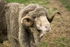 Merino ram Stock Photos
