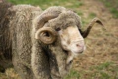 Merino-RAM Stockfotos
