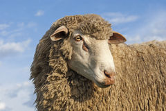 Merino Ram Royalty Free Stock Photo