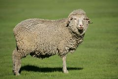 Merino sheep. A merino sheep standing in lush green pasture royalty free stock images