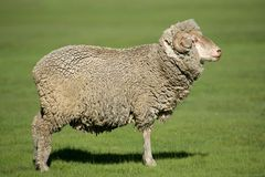 Merino sheep Royalty Free Stock Photo