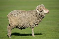 Merino sheep Royalty Free Stock Photo
