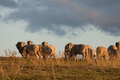 Merino Sheep 2 Royalty Free Stock Photos