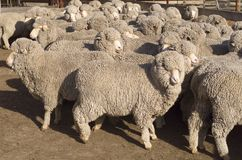 Merino Sheep Stock Photo