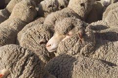 Merino Sheep royalty free stock image