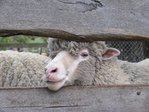 Merino sheep. Behind a fence. Australia royalty free stock images