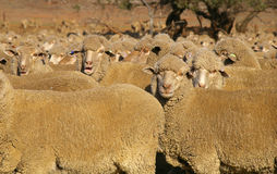 Merino Sheep. Group of merino sheep facing camera royalty free stock photography