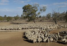 Merino Sheep. Sheep being mustered in the far north west of New South Wales, Australia Stock Photography