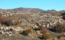 Merino Sheep On Bendigo Station, Otago New Zealand Royalty Free Stock Photos