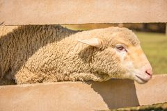 Merino sheep. Close up white feathers Merino sheep in sunny day Royalty Free Stock Photos