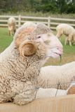 Merino sheep. Domesticated in Thailand to attract tourists Royalty Free Stock Photos