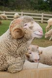 Merino sheep. Domesticated in Thailand to attract tourists Royalty Free Stock Images