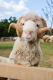 Merino sheep. Domesticated in Thailand to attract tourists stock photography