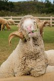 Merino sheep. Domesticated in Thailand to attract tourists royalty free stock image