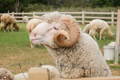 Merino sheep. Domesticated in Thailand to attract tourists Stock Photo