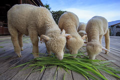 Merino sheep eating ruzi grass leaves on wood ground of rural li Royalty Free Stock Photo