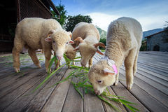 Merino sheep eating ruzi grass leaves on wood ground of rural ra Royalty Free Stock Photography