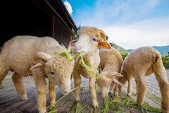 Merino sheep eating ruzi grass leaves on wood ground of rural ra. Nch farm with beautiful lighting Royalty Free Stock Photography