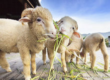 Merino sheep eating ruzi grass leaves on wood ground  Stock Photos