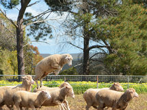 Merino sheep on a farm in Australia. Merino sheep leaping into the air whilst gathered in a holding pen on a farm in Australia Royalty Free Stock Photography
