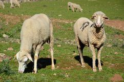 Merino sheep. Feeding on the field stock images