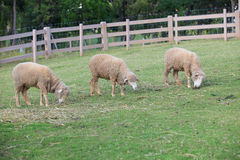 Merino sheep feeding in green grass field of rural ranch farm Royalty Free Stock Photo