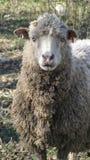 Merino Sheep Stock Images