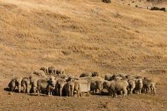 Merino sheep on grassy slope Royalty Free Stock Photography