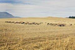 Merino sheep grazing Stock Images