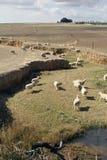Merino sheep grazing Stock Photography