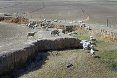Merino sheep grazing Royalty Free Stock Photography