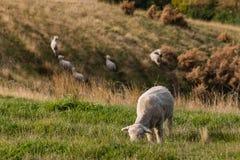 Merino sheep grazing on grassy hill Stock Images