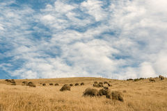 Merino sheep grazing on grassy hill Royalty Free Stock Images