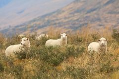 New Zealand sheep grazing on the mountains royalty free stock image