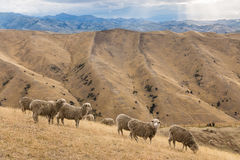 Merino sheep grazing on Wither Hills Stock Photos